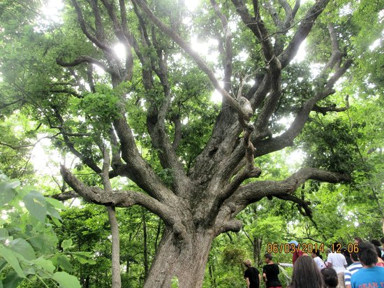 McConnell Springs: The Big Bur Oak""