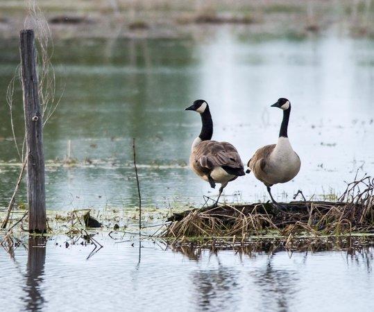 Pickerel Creek Wildlife Area: Canada Geese Pair