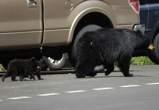 "BrushBuck Wildlife Tours: a ""Bear Jam"" for momma black bear and her cubs!"