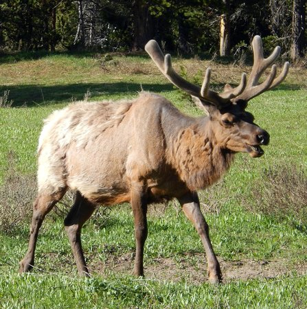 BrushBuck Wildlife Tours - Day Tours: Elk were everywhere.....