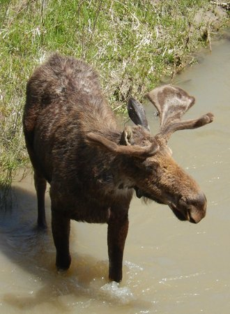 BrushBuck Wildlife Tours - Day Tours: There are moose in Moose Junction!