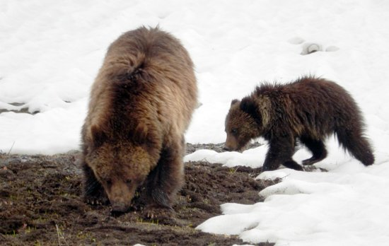 BrushBuck Wildlife Tours: Grizzly and her cub foraging for food...