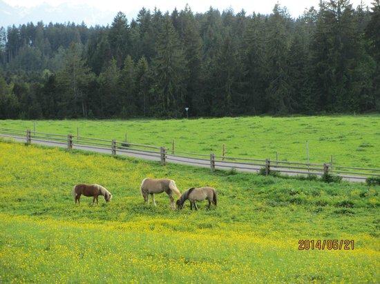 Wies Church: 草原の牛