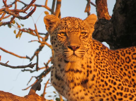 Chitwa Chitwa Private Game Reserve: Leopard driven up a tree by Lions