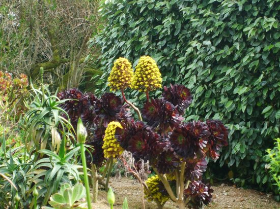 aeonium en fleur photo de jardin exotique et botanique de roscoff roscoff tripadvisor. Black Bedroom Furniture Sets. Home Design Ideas