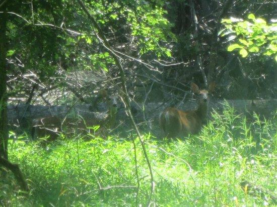 Great Falls Park: Deer at Great Falls