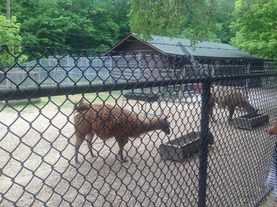 High Park: Llamas