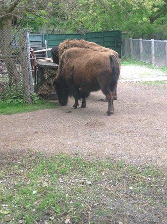 High Park: Bison