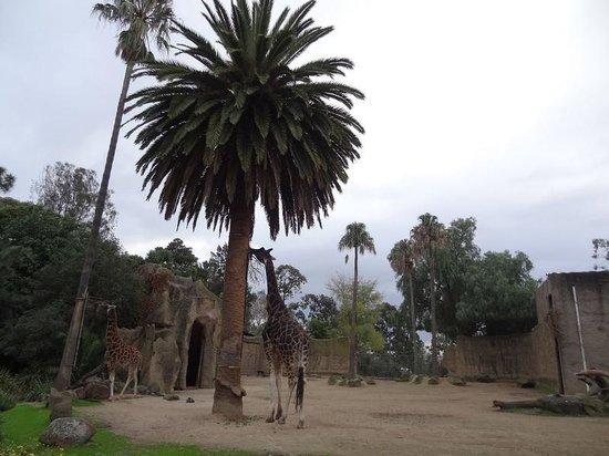 Melbourne Zoo: Giraffes
