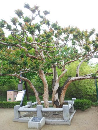 Ojukheon: 600 years old tree