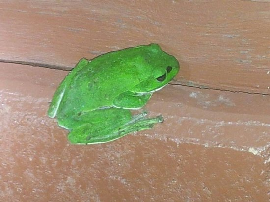 Ialong Traveller's Nest: no exaggeration...the frog is exactly this bright green!