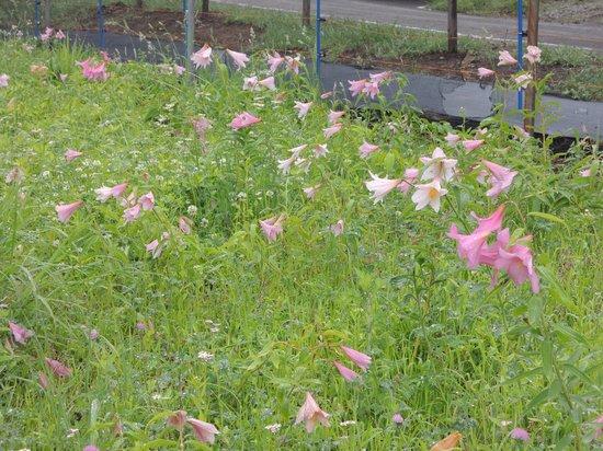 Tsuchiyu Onsen: 野草に交じって咲くひめさゆり