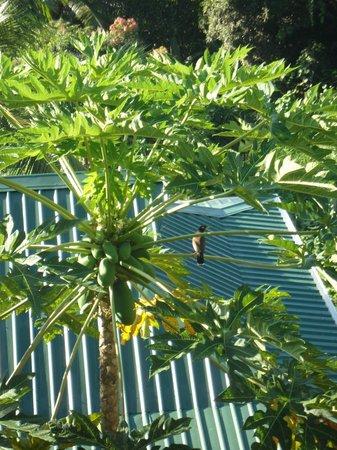Villas de Jardin: Papayabaum