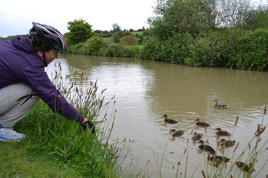 Caen Hill Locks: Mallards everywhere!