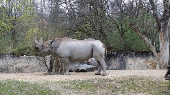 Zoo Zürich : Rinoceronte