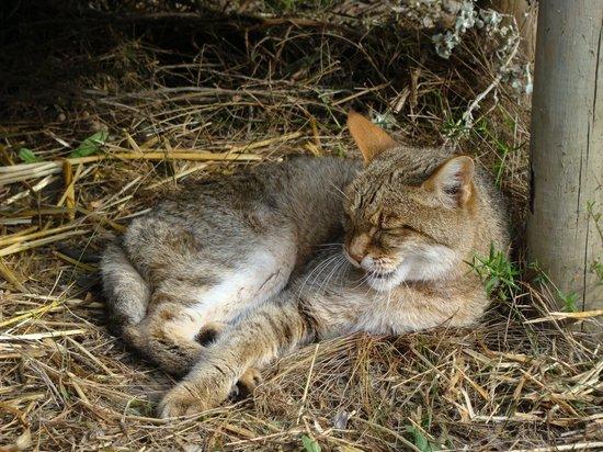 Tenikwa Wildlife Awareness Centre: african wild cat