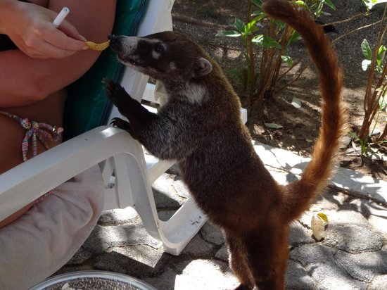 ClubHotel Riu Tequila: The friendly Racoon type animals that make your stay more wonderful