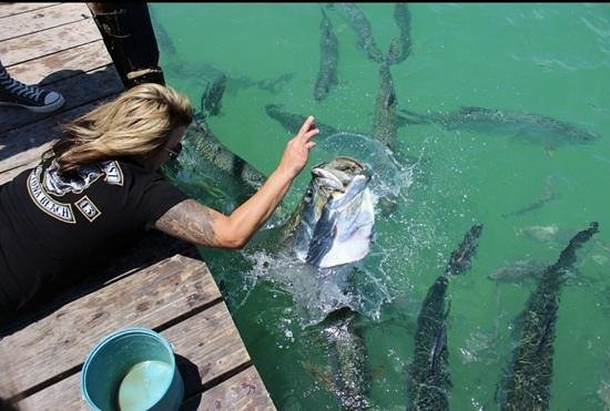 Hungry Tarpon : when they say they are aggressive, they arent lying