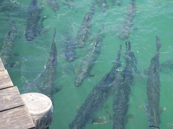 Hungry Tarpon : they are huge