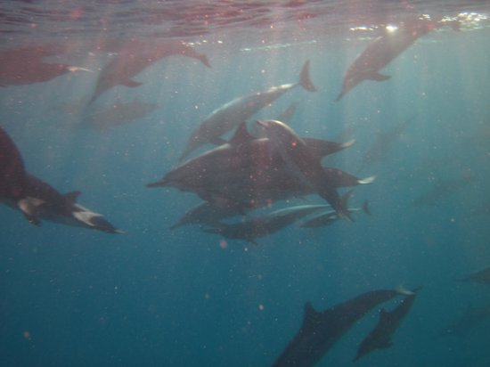 La Pirogue - Swim with the Dolphins: huge pod