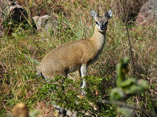 Kololo Game Reserve: Kololo en de klipspringer