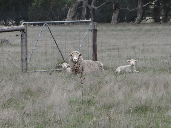 Breakaway Farmstay : Mother lamb and babes