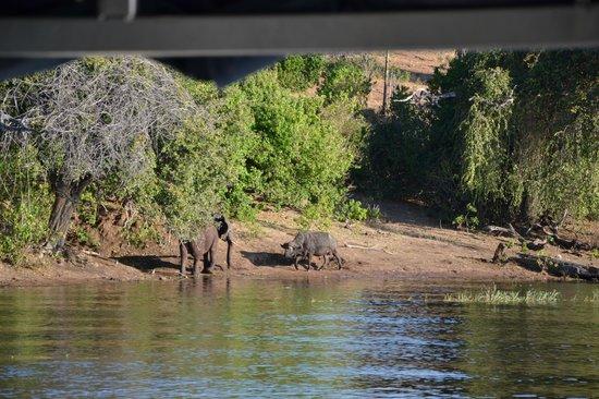 Cresta Mowana Safari Resort and Spa : Don't argue with me I'm bigger