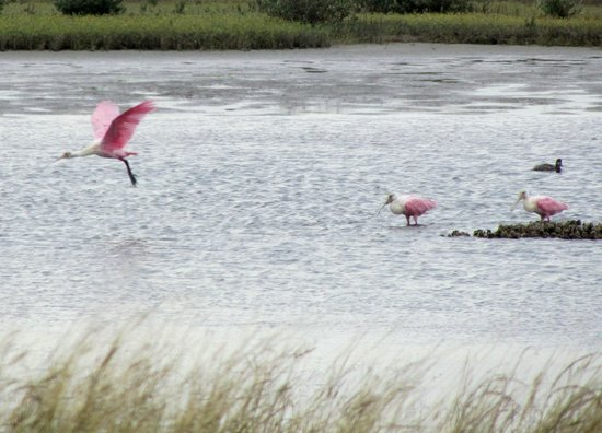 Rockport Beach: Roseate Spoonbills nearby......