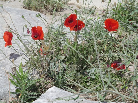 Hera Hotel: Poppies in bloom at the Acropolis