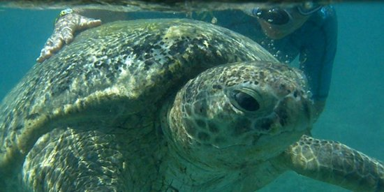 Siva Port Ghalib : черепаха