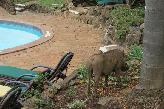 Mara Serena Safari Lodge : Warthog at swimmingpool