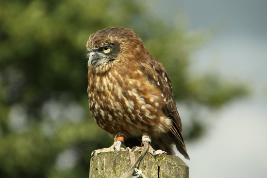 Gauntlet Birds of Prey: Bobook Owl