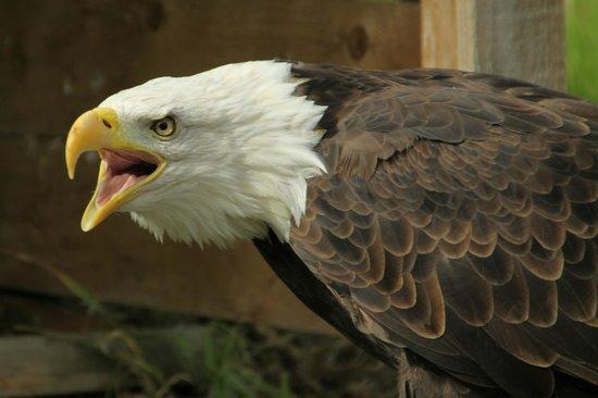 Gauntlet Birds of Prey: Bald eagle