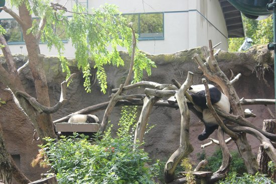 San Diego Zoo: Panda