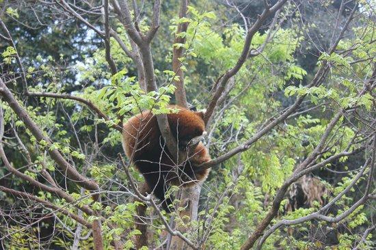 San Diego Zoo: Red Panda