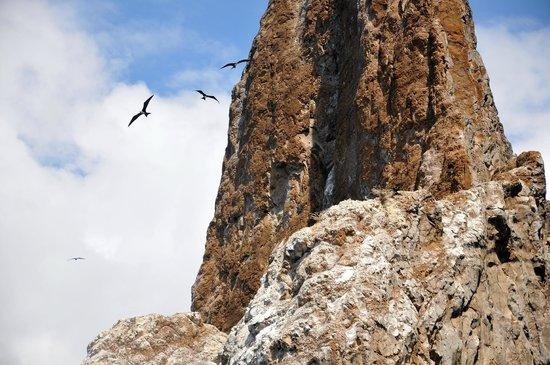 Kicker Rock : Frigate birds nesting