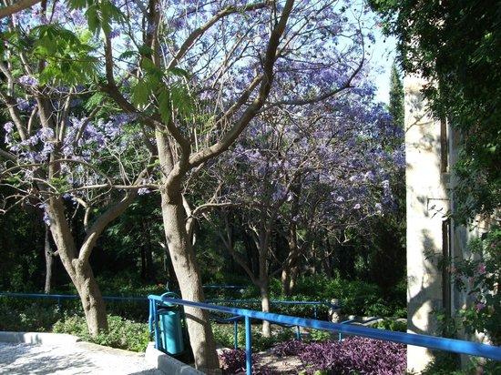 Hapimag Resort Sea Garden : Jacaranda tree