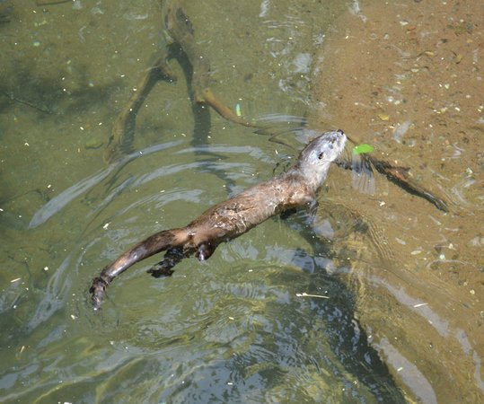 Arizona-Sonora Desert Museum: My favorite, river otter