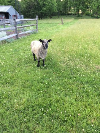 Woolverton Inn: The sheep outside of the Inn