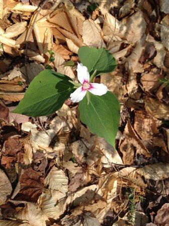 Lye Brook Falls: spring flowers
