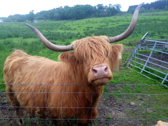 The Hairy Coo - Free Scottish Highlands Tour : hairy coo
