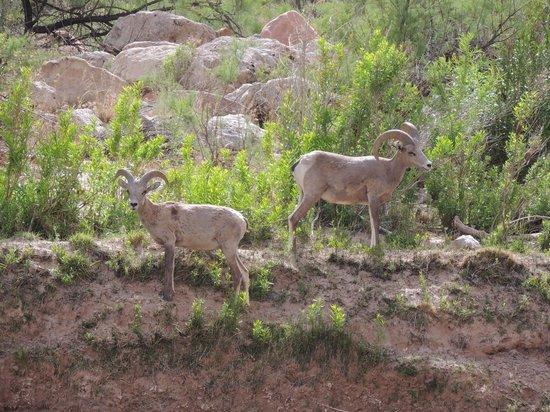 Arizona Raft Adventures: Desert Bighorn Sheep