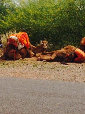 ClubHotel Riu Tikida Palmeraie : camels outside hotel