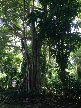 Dunn's River Falls and Park: Tree on Grounds