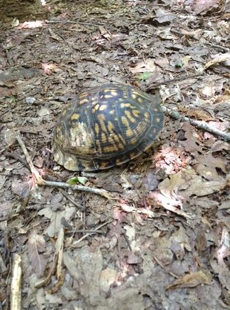 Medoc Mountain State Park: turtle