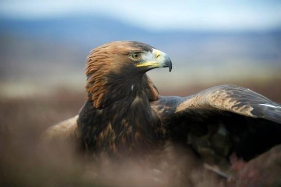 Loch Lomond Bird of Prey Centre: Orla the Golden Eagle