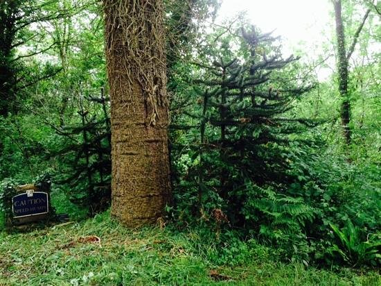 Northcote Manor Country House Hotel: Lots of Monkey Puzzle trees!