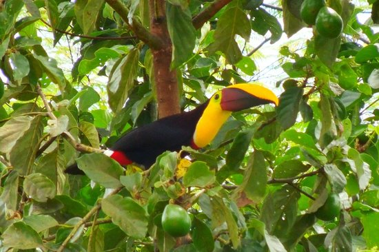Princesa de la Luna Eco Lodge: Chestnut-mandibled Toucan ready for breakfast.