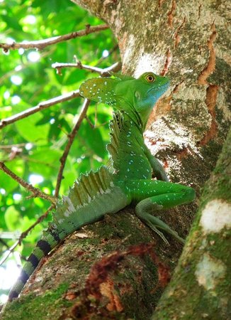 Princesa de la Luna Eco Lodge: Green Basilisk Lizard watching over the house.