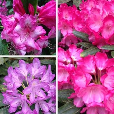 Point Defiance Park : Rhodos that were blooming in late May